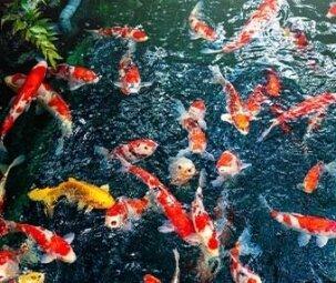 בריכת נוי עם דגים
