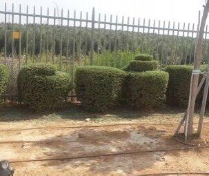 עיצוב שיחים בגינה פרטית